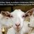 Άμεσα να καλύψει η Κυβέρνηση ΣΥΡΙΖΑ ΑΝΕΛ τις απώλειες στο εισόδημα των κτηνοτρόφων με de minimis